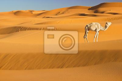 Постер Верблюды Верблюд в пустыне сахара, МароккоВерблюды<br>Постер на холсте или бумаге. Любого нужного вам размера. В раме или без. Подвес в комплекте. Трехслойная надежная упаковка. Доставим в любую точку России. Вам осталось только повесить картину на стену!<br>