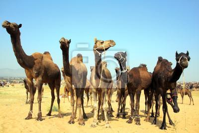 Постер Верблюды Группа верблюдов во время фестиваля в ПушкареВерблюды<br>Постер на холсте или бумаге. Любого нужного вам размера. В раме или без. Подвес в комплекте. Трехслойная надежная упаковка. Доставим в любую точку России. Вам осталось только повесить картину на стену!<br>