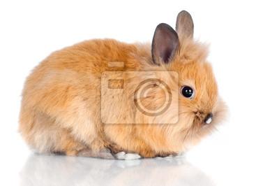 Красный маленький кролик, изолированных на белом, 30x20 см, на бумагеКролики<br>Постер на холсте или бумаге. Любого нужного вам размера. В раме или без. Подвес в комплекте. Трехслойная надежная упаковка. Доставим в любую точку России. Вам осталось только повесить картину на стену!<br>