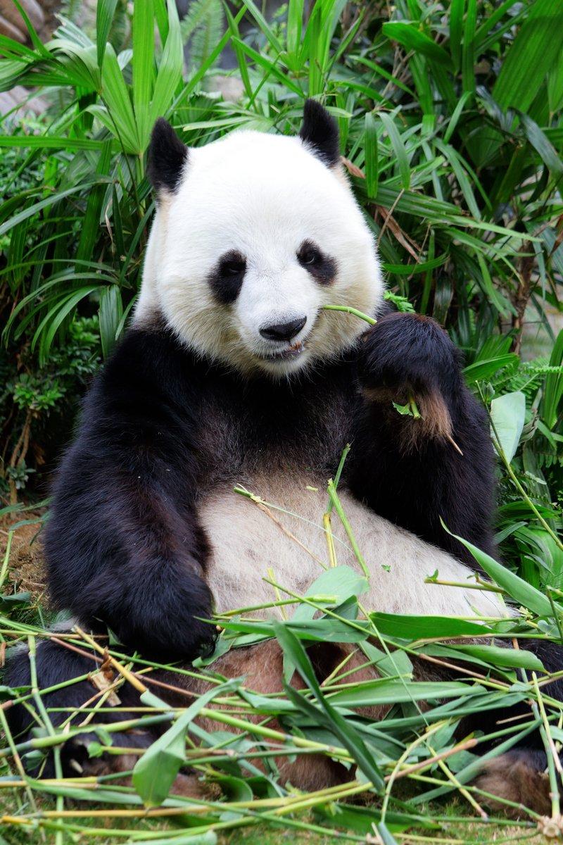 Гигантской панды едят бамбука, 20x30 см, на бумагеПанда<br>Постер на холсте или бумаге. Любого нужного вам размера. В раме или без. Подвес в комплекте. Трехслойная надежная упаковка. Доставим в любую точку России. Вам осталось только повесить картину на стену!<br>