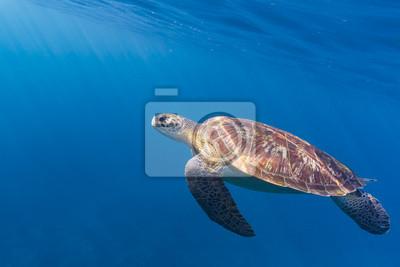 Постер Рептилии Морская черепаха биссаРептилии<br>Постер на холсте или бумаге. Любого нужного вам размера. В раме или без. Подвес в комплекте. Трехслойная надежная упаковка. Доставим в любую точку России. Вам осталось только повесить картину на стену!<br>