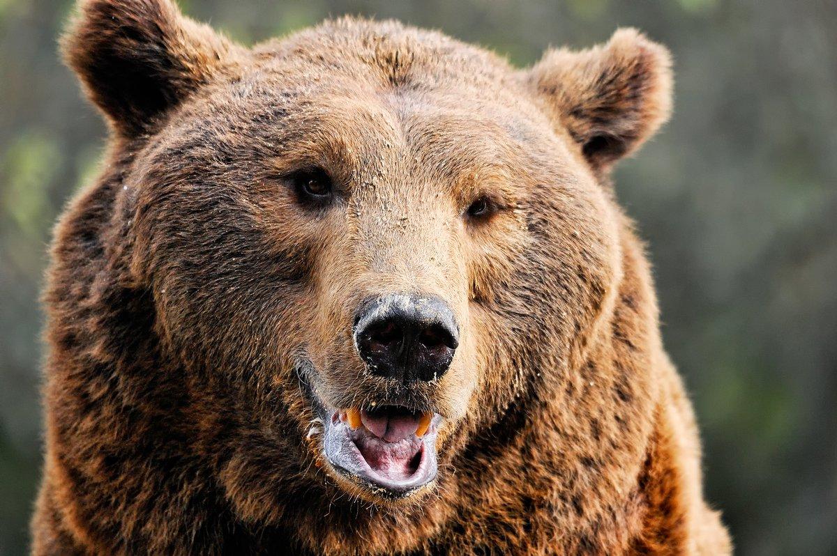 Постер Медведи