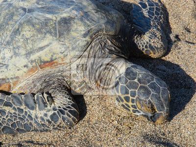 Гавайские зеленая морская черепаха (honu, Chelonia mydas), 27x20 см, на бумагеЧерепахи<br>Постер на холсте или бумаге. Любого нужного вам размера. В раме или без. Подвес в комплекте. Трехслойная надежная упаковка. Доставим в любую точку России. Вам осталось только повесить картину на стену!<br>