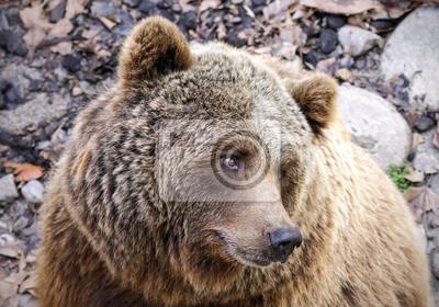 Постер Медведи Бурый Медведь Ursus arctosМедведи<br>Постер на холсте или бумаге. Любого нужного вам размера. В раме или без. Подвес в комплекте. Трехслойная надежная упаковка. Доставим в любую точку России. Вам осталось только повесить картину на стену!<br>