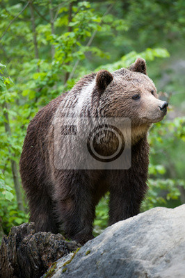 Постер Медведи Бурый медведь (лат. ursus arctos)Медведи<br>Постер на холсте или бумаге. Любого нужного вам размера. В раме или без. Подвес в комплекте. Трехслойная надежная упаковка. Доставим в любую точку России. Вам осталось только повесить картину на стену!<br>