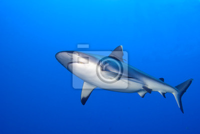 Постер Акулы Серая акула челюсти готовы к нападению, подводный макро, портретАкулы<br>Постер на холсте или бумаге. Любого нужного вам размера. В раме или без. Подвес в комплекте. Трехслойная надежная упаковка. Доставим в любую точку России. Вам осталось только повесить картину на стену!<br>