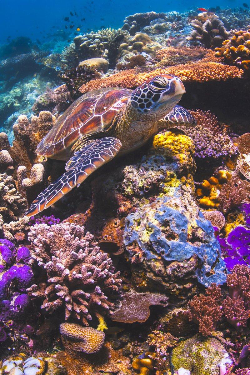 Морская черепаха, сидя на красочный подводный риф в Малайзии, 20x30 см, на бумагеЧерепахи<br>Постер на холсте или бумаге. Любого нужного вам размера. В раме или без. Подвес в комплекте. Трехслойная надежная упаковка. Доставим в любую точку России. Вам осталось только повесить картину на стену!<br>
