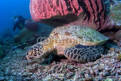 Морская черепаха сидит под красочные коралловые подводных в Малайзии, 30x20 см, на бумагеЧерепахи<br>Постер на холсте или бумаге. Любого нужного вам размера. В раме или без. Подвес в комплекте. Трехслойная надежная упаковка. Доставим в любую точку России. Вам осталось только повесить картину на стену!<br>