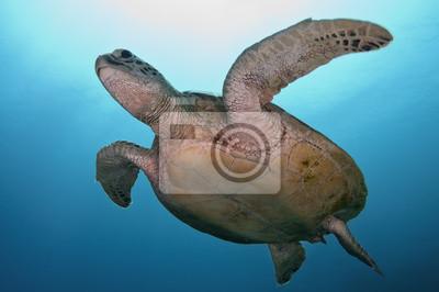 Постер Черепахи Морская черепаха недалекоЧерепахи<br>Постер на холсте или бумаге. Любого нужного вам размера. В раме или без. Подвес в комплекте. Трехслойная надежная упаковка. Доставим в любую точку России. Вам осталось только повесить картину на стену!<br>