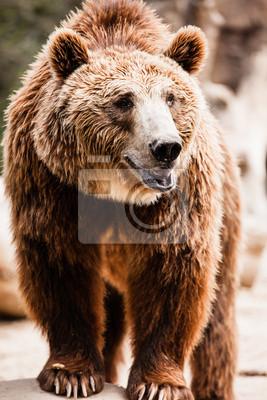 Бурый медведь в смешной позе, 20x30 см, на бумагеМедведи<br>Постер на холсте или бумаге. Любого нужного вам размера. В раме или без. Подвес в комплекте. Трехслойная надежная упаковка. Доставим в любую точку России. Вам осталось только повесить картину на стену!<br>