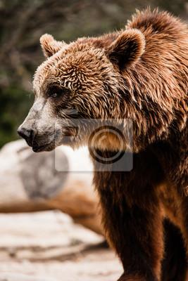 Постер Медведи Бурый медведь в смешной позеМедведи<br>Постер на холсте или бумаге. Любого нужного вам размера. В раме или без. Подвес в комплекте. Трехслойная надежная упаковка. Доставим в любую точку России. Вам осталось только повесить картину на стену!<br>