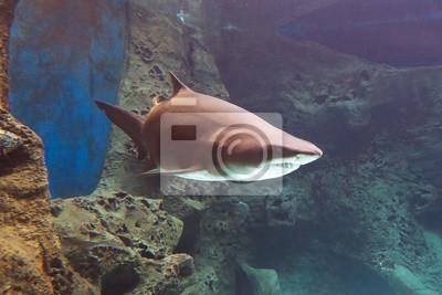 Постер Подводный мир Акул под водой, в природный аквариум, 30x20 см, на бумагеАкулы<br>Постер на холсте или бумаге. Любого нужного вам размера. В раме или без. Подвес в комплекте. Трехслойная надежная упаковка. Доставим в любую точку России. Вам осталось только повесить картину на стену!<br>