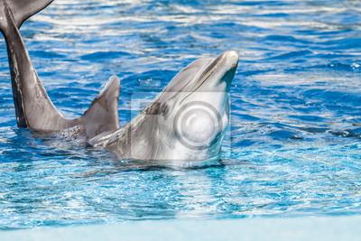 Постер Дельфины Дельфины плавают в бассейнеДельфины<br>Постер на холсте или бумаге. Любого нужного вам размера. В раме или без. Подвес в комплекте. Трехслойная надежная упаковка. Доставим в любую точку России. Вам осталось только повесить картину на стену!<br>