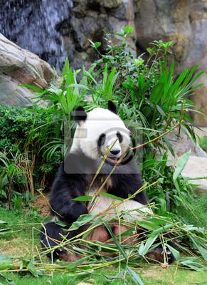 Постер Животные Гигантской панды едят бамбука, 20x27 см, на бумагеПанда<br>Постер на холсте или бумаге. Любого нужного вам размера. В раме или без. Подвес в комплекте. Трехслойная надежная упаковка. Доставим в любую точку России. Вам осталось только повесить картину на стену!<br>