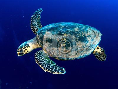 Морские море черепаха в глубокое синее, Красное Море, Египет., 26x20 см, на бумагеЧерепахи<br>Постер на холсте или бумаге. Любого нужного вам размера. В раме или без. Подвес в комплекте. Трехслойная надежная упаковка. Доставим в любую точку России. Вам осталось только повесить картину на стену!<br>