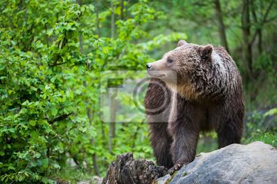 Бурый медведь (лат. ursus arctos), 30x20 см, на бумагеМедведи<br>Постер на холсте или бумаге. Любого нужного вам размера. В раме или без. Подвес в комплекте. Трехслойная надежная упаковка. Доставим в любую точку России. Вам осталось только повесить картину на стену!<br>