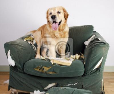 Постер Собаки Золотистый ретривер собака сносит стулСобаки<br>Постер на холсте или бумаге. Любого нужного вам размера. В раме или без. Подвес в комплекте. Трехслойная надежная упаковка. Доставим в любую точку России. Вам осталось только повесить картину на стену!<br>