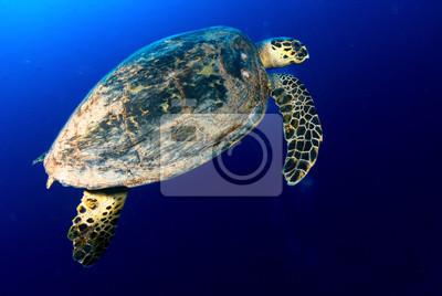 Морские море черепаха в глубокое синее, Красное Море, Египет., 30x20 см, на бумагеЧерепахи<br>Постер на холсте или бумаге. Любого нужного вам размера. В раме или без. Подвес в комплекте. Трехслойная надежная упаковка. Доставим в любую точку России. Вам осталось только повесить картину на стену!<br>
