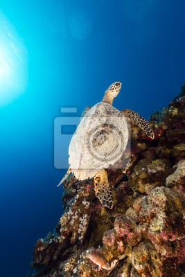 Постер Черепахи Морские черепахи и тропических рифов в Красном Море.Черепахи<br>Постер на холсте или бумаге. Любого нужного вам размера. В раме или без. Подвес в комплекте. Трехслойная надежная упаковка. Доставим в любую точку России. Вам осталось только повесить картину на стену!<br>