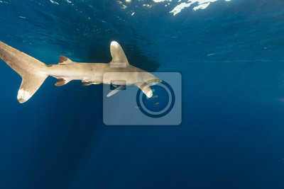 Океанический whitetip акула (carcharhinus longimanus), 30x20 см, на бумагеАкулы<br>Постер на холсте или бумаге. Любого нужного вам размера. В раме или без. Подвес в комплекте. Трехслойная надежная упаковка. Доставим в любую точку России. Вам осталось только повесить картину на стену!<br>
