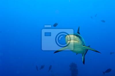 Серая акула челюсти готовы к нападению, подводный макро, портрет, 30x20 см, на бумагеАкулы<br>Постер на холсте или бумаге. Любого нужного вам размера. В раме или без. Подвес в комплекте. Трехслойная надежная упаковка. Доставим в любую точку России. Вам осталось только повесить картину на стену!<br>