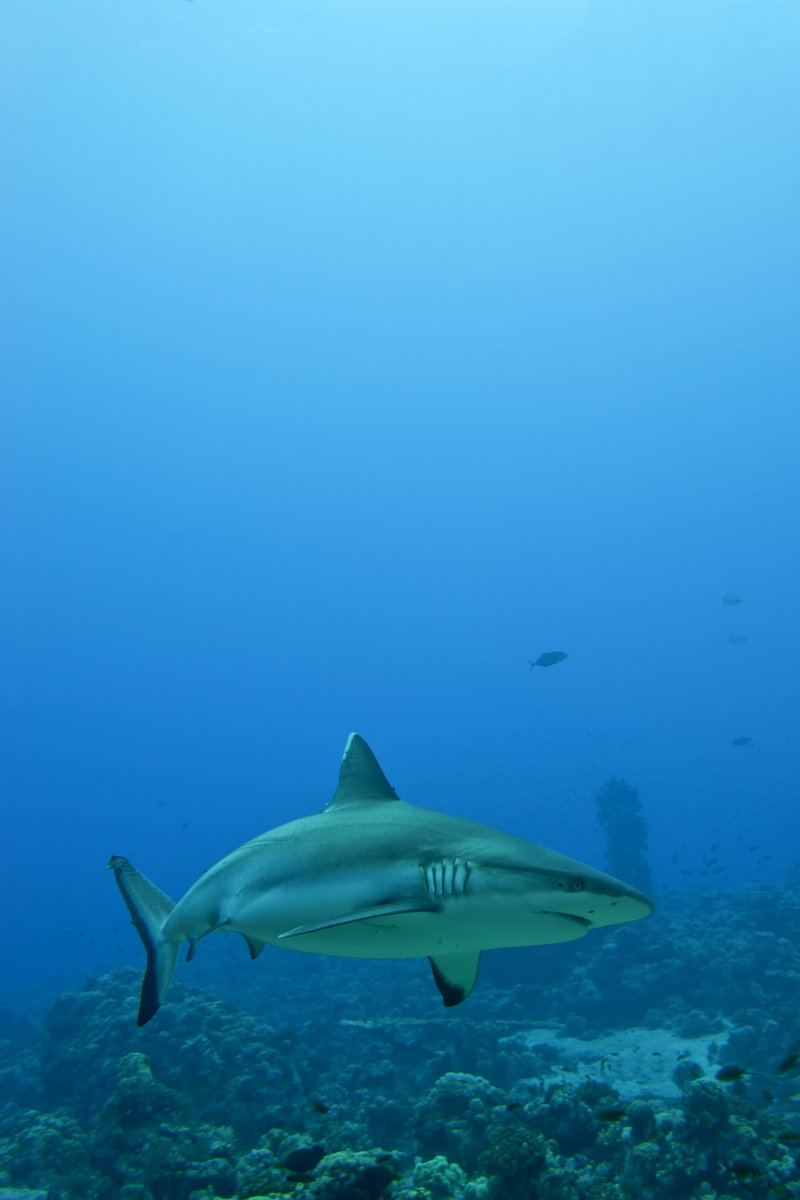 Серая акула челюсти готовы к нападению, подводный макро, портрет, 20x30 см, на бумагеАкулы<br>Постер на холсте или бумаге. Любого нужного вам размера. В раме или без. Подвес в комплекте. Трехслойная надежная упаковка. Доставим в любую точку России. Вам осталось только повесить картину на стену!<br>