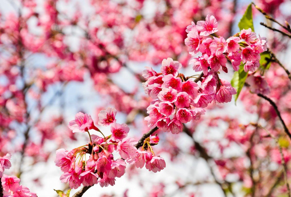 Постер Сакура Дикие гималайский цветущая Вишня (Prunus cerasoides)Сакура<br>Постер на холсте или бумаге. Любого нужного вам размера. В раме или без. Подвес в комплекте. Трехслойная надежная упаковка. Доставим в любую точку России. Вам осталось только повесить картину на стену!<br>