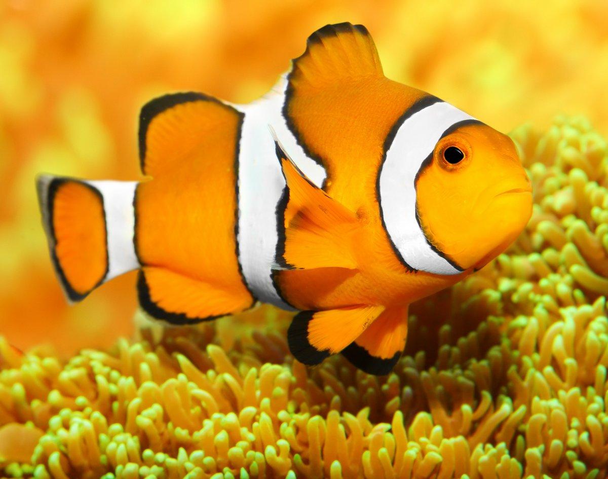 Постер Подводный мир Тропических рифовых рыб - Рыба (Amphiprion анемоновая)., 25x20 см, на бумагеРыбы<br>Постер на холсте или бумаге. Любого нужного вам размера. В раме или без. Подвес в комплекте. Трехслойная надежная упаковка. Доставим в любую точку России. Вам осталось только повесить картину на стену!<br>