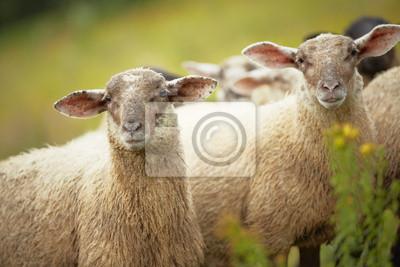 Постер Овцы Овцы стояли в длинной зеленой травы, на фермеОвцы<br>Постер на холсте или бумаге. Любого нужного вам размера. В раме или без. Подвес в комплекте. Трехслойная надежная упаковка. Доставим в любую точку России. Вам осталось только повесить картину на стену!<br>