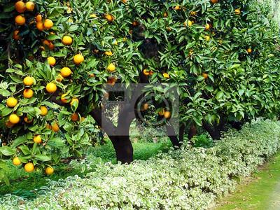 Постер Еда и напитки Оранжевый плод дерева orchard, 27x20 см, на бумагеМандарины<br>Постер на холсте или бумаге. Любого нужного вам размера. В раме или без. Подвес в комплекте. Трехслойная надежная упаковка. Доставим в любую точку России. Вам осталось только повесить картину на стену!<br>