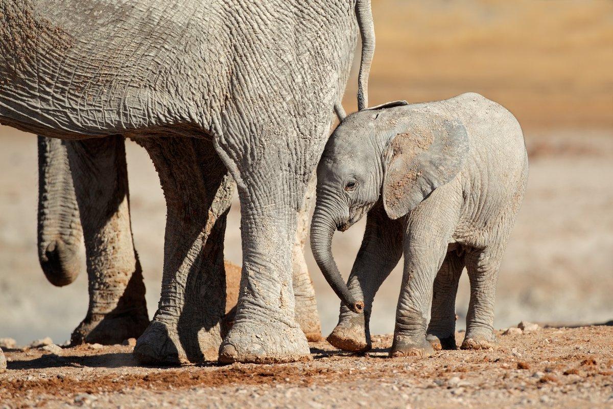 Постер Животные Африканский слон теленка, Etosha Национальный парк, 30x20 см, на бумагеСлоны<br>Постер на холсте или бумаге. Любого нужного вам размера. В раме или без. Подвес в комплекте. Трехслойная надежная упаковка. Доставим в любую точку России. Вам осталось только повесить картину на стену!<br>