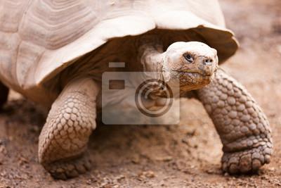 Постер Черепахи Гигантские Галапагосские черепахиЧерепахи<br>Постер на холсте или бумаге. Любого нужного вам размера. В раме или без. Подвес в комплекте. Трехслойная надежная упаковка. Доставим в любую точку России. Вам осталось только повесить картину на стену!<br>
