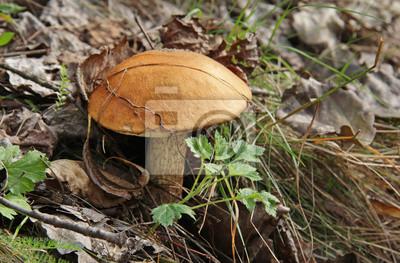 Постер Природа Подосиновики гриб в лесу, 30x20 см, на бумагеГрибы<br>Постер на холсте или бумаге. Любого нужного вам размера. В раме или без. Подвес в комплекте. Трехслойная надежная упаковка. Доставим в любую точку России. Вам осталось только повесить картину на стену!<br>