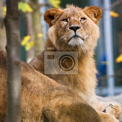 Постер Кения Крупным планом портрет величественного львица (Panthera Leo)Кения<br>Постер на холсте или бумаге. Любого нужного вам размера. В раме или без. Подвес в комплекте. Трехслойная надежная упаковка. Доставим в любую точку России. Вам осталось только повесить картину на стену!<br>