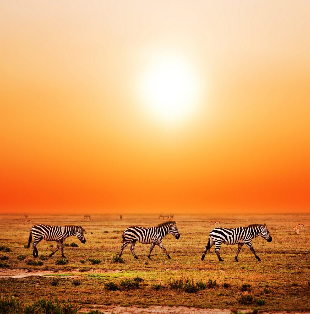 Постер Африканский пейзаж Стадо зебр в Африканской саванне на закате. Сафари в СеренгетиАфриканский пейзаж<br>Постер на холсте или бумаге. Любого нужного вам размера. В раме или без. Подвес в комплекте. Трехслойная надежная упаковка. Доставим в любую точку России. Вам осталось только повесить картину на стену!<br>