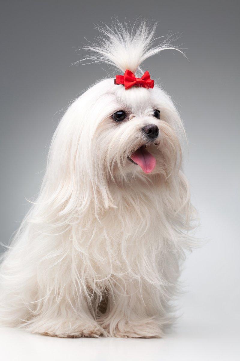 Постер Собаки Мальтийская собака с красным бантом на головеСобаки<br>Постер на холсте или бумаге. Любого нужного вам размера. В раме или без. Подвес в комплекте. Трехслойная надежная упаковка. Доставим в любую точку России. Вам осталось только повесить картину на стену!<br>