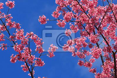 Постер Сакура Сакура розовый цветок, Таиланд, Cherry blossomСакура<br>Постер на холсте или бумаге. Любого нужного вам размера. В раме или без. Подвес в комплекте. Трехслойная надежная упаковка. Доставим в любую точку России. Вам осталось только повесить картину на стену!<br>