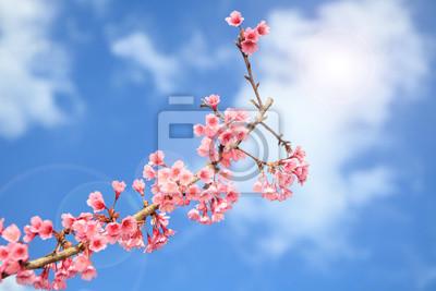 Постер Цветы Prunus cerasoides цветок в Чиангмай, Таиланд, 30x20 см, на бумагеСакура<br>Постер на холсте или бумаге. Любого нужного вам размера. В раме или без. Подвес в комплекте. Трехслойная надежная упаковка. Доставим в любую точку России. Вам осталось только повесить картину на стену!<br>