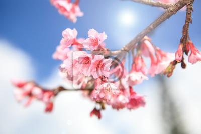 Постер Сакура Prunus cerasoides цветок в Чиангмай, ТаиландСакура<br>Постер на холсте или бумаге. Любого нужного вам размера. В раме или без. Подвес в комплекте. Трехслойная надежная упаковка. Доставим в любую точку России. Вам осталось только повесить картину на стену!<br>