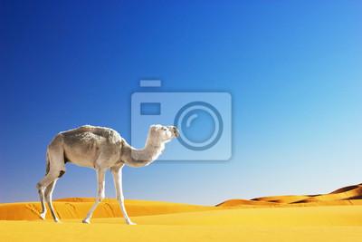 Постер Африканский пейзаж Верблюд в пустыне сахара, МароккоАфриканский пейзаж<br>Постер на холсте или бумаге. Любого нужного вам размера. В раме или без. Подвес в комплекте. Трехслойная надежная упаковка. Доставим в любую точку России. Вам осталось только повесить картину на стену!<br>