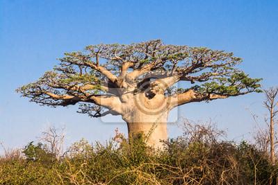 Постер Африканский пейзаж Баобаб, МадагаскарАфриканский пейзаж<br>Постер на холсте или бумаге. Любого нужного вам размера. В раме или без. Подвес в комплекте. Трехслойная надежная упаковка. Доставим в любую точку России. Вам осталось только повесить картину на стену!<br>