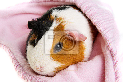 Подопытным кроликом в розовый колпачок на белом, 30x20 см, на бумагеМорские свинки<br>Постер на холсте или бумаге. Любого нужного вам размера. В раме или без. Подвес в комплекте. Трехслойная надежная упаковка. Доставим в любую точку России. Вам осталось только повесить картину на стену!<br>