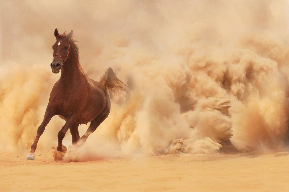 Постер Лошади Арабские лошади бегут из  Буря в ПустынеЛошади<br>Постер на холсте или бумаге. Любого нужного вам размера. В раме или без. Подвес в комплекте. Трехслойная надежная упаковка. Доставим в любую точку России. Вам осталось только повесить картину на стену!<br>