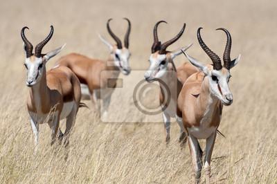 Постер Антилопы Группа Springboks в Национальный парк Этоша в НамибииАнтилопы<br>Постер на холсте или бумаге. Любого нужного вам размера. В раме или без. Подвес в комплекте. Трехслойная надежная упаковка. Доставим в любую точку России. Вам осталось только повесить картину на стену!<br>