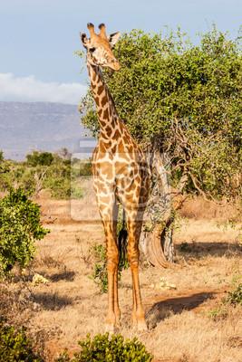 Постер Кения Бесплатная Жирафа в КенииКения<br>Постер на холсте или бумаге. Любого нужного вам размера. В раме или без. Подвес в комплекте. Трехслойная надежная упаковка. Доставим в любую точку России. Вам осталось только повесить картину на стену!<br>