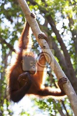 Постер Малайзия Орангутанг карабкаться на дерево, Борнео.Малайзия<br>Постер на холсте или бумаге. Любого нужного вам размера. В раме или без. Подвес в комплекте. Трехслойная надежная упаковка. Доставим в любую точку России. Вам осталось только повесить картину на стену!<br>