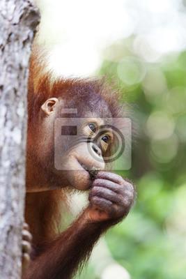 Постер Малайзия Орангутанг в дерево, Борнео.Малайзия<br>Постер на холсте или бумаге. Любого нужного вам размера. В раме или без. Подвес в комплекте. Трехслойная надежная упаковка. Доставим в любую точку России. Вам осталось только повесить картину на стену!<br>