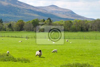 Постер Ирландия Овец и Баранов в Килларни горы - ИрландияИрландия<br>Постер на холсте или бумаге. Любого нужного вам размера. В раме или без. Подвес в комплекте. Трехслойная надежная упаковка. Доставим в любую точку России. Вам осталось только повесить картину на стену!<br>