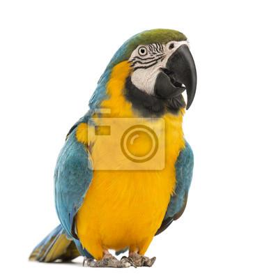 Постер Птицы Сине-желтый Ара, Ара ararauna, 30 лет, 20x22 см, на бумагеПопугаи<br>Постер на холсте или бумаге. Любого нужного вам размера. В раме или без. Подвес в комплекте. Трехслойная надежная упаковка. Доставим в любую точку России. Вам осталось только повесить картину на стену!<br>