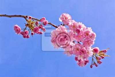 Постер Сакура Ветки вишни. Весенний пейзаж.Сакура<br>Постер на холсте или бумаге. Любого нужного вам размера. В раме или без. Подвес в комплекте. Трехслойная надежная упаковка. Доставим в любую точку России. Вам осталось только повесить картину на стену!<br>